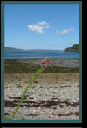 Foxgolve on the Shores of Loch Ewe
